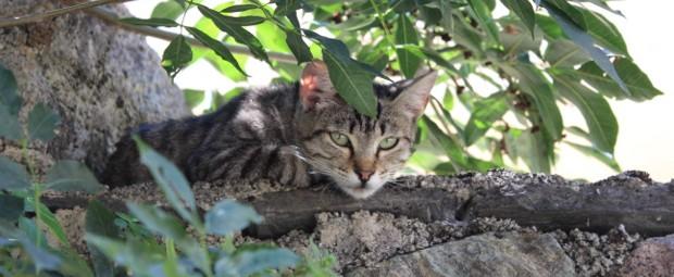chat-tigre-corte-tourisme-corse