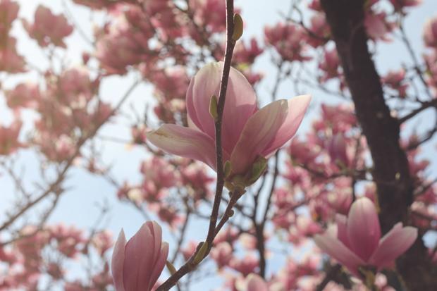 magnolias-en-fleur
