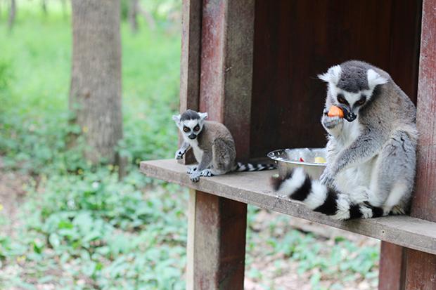 safari-de-peaugres-lemuriens