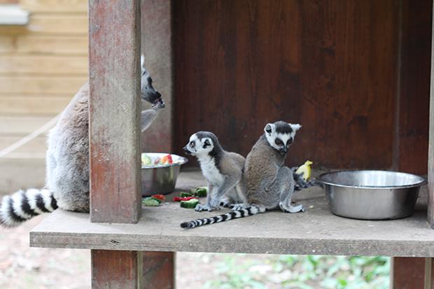 safari-de-peaugres-makicattats